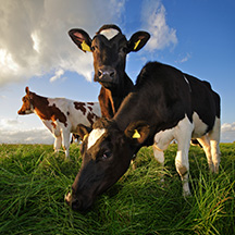 Healthy New Zealand Cows